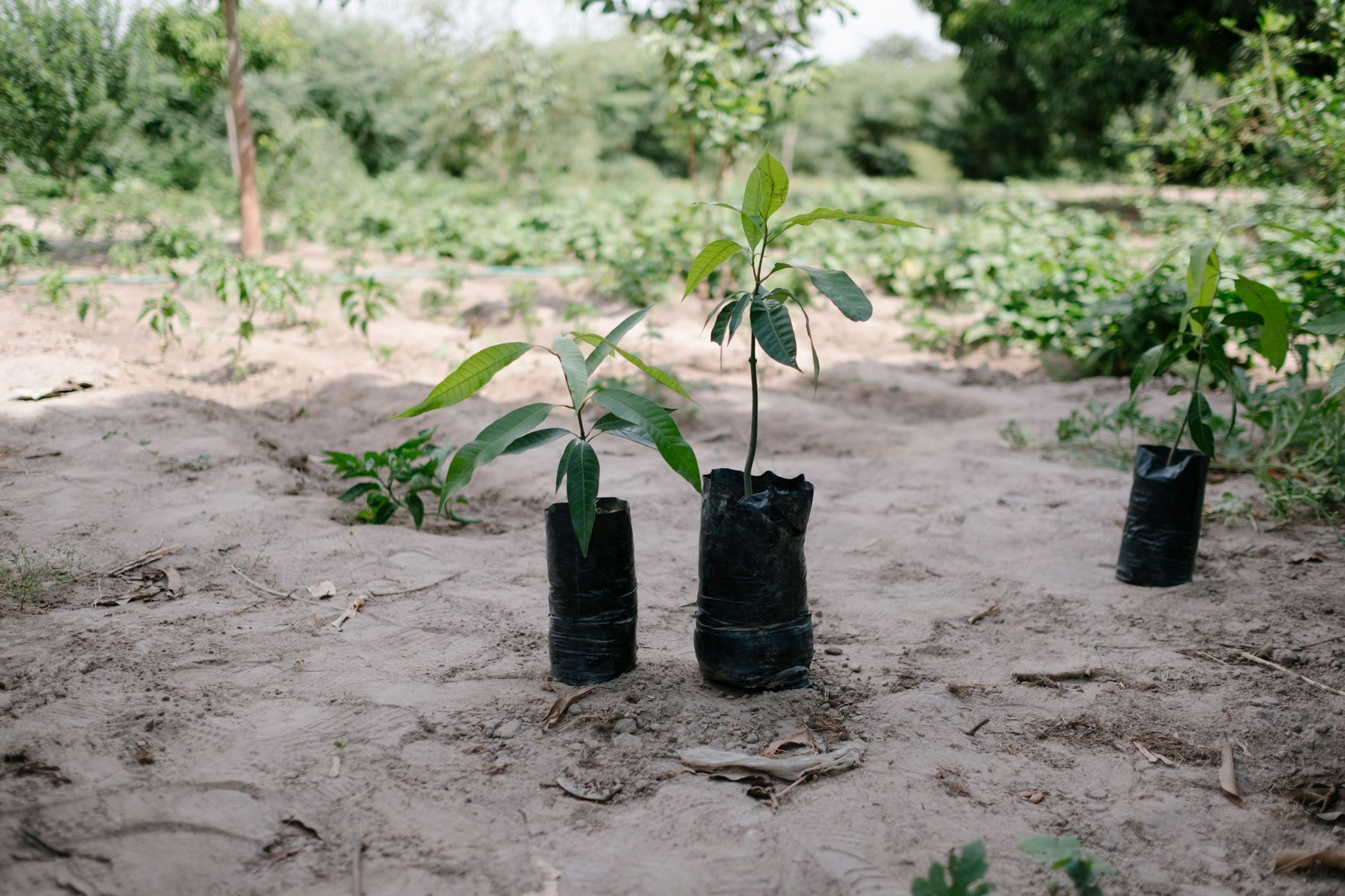 Two small tree saplings at one of our tree planting projects.